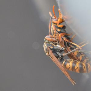 アシナガバチの交尾