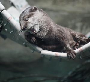 円山動物園 コツメカワウソ&カバ&サーバルキャット 『おひとりさまを楽しむ。』