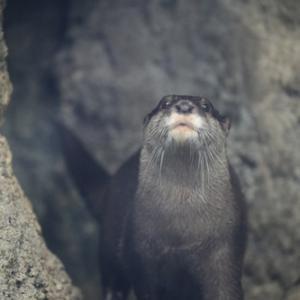 円山動物園 コツメカワウソ&シシオザル 『表情。』