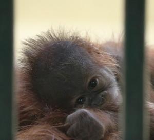 円山動物園 オランウータンの赤ちゃん&エゾシカ&シロフクロウ 『昼下がり。』