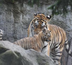 再開後の旭山動物園① 『アムールトラの赤ちゃんは3頭。』