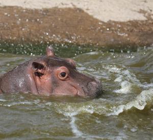 再開後の旭山動物園② カバの親子 『食べちゃいたいくらい、可愛い赤ちゃん。』