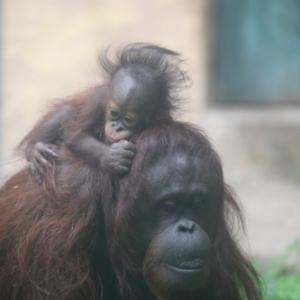 円山動物園 オランウータン親子 『令人は眠いのだ。』