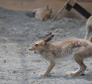 円山動物園 エゾユキウサギ 『仔ウサギは14頭(匹・羽)と表示中。』