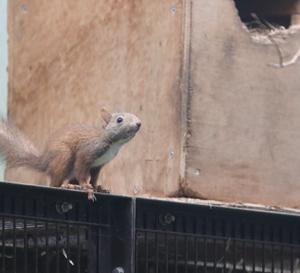 円山動物園 エゾリス&ニワトリ&ヒマラヤグマ&アジアゾウ 『暑さ対策。』