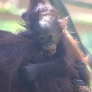 円山動物園 オランウータン親子 『息子の令人が眠りにつくまで。』