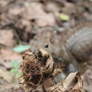 円山公園 エゾリス『一生懸命に巣材集め。』