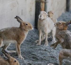 円山動物園 エゾユキウサギ 『ウサパンチとハイタッチなファイト!』