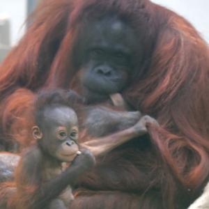 円山動物園 オランウータン親子 『愛に包まれて遊ぶ。』