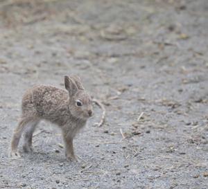 円山動物園 エゾユキウサギの仔達。 『赤ちゃんは14匹』
