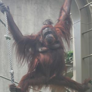 円山動物園 オランウータン親子 『接近しながら食べる。』