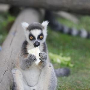 旭山動物園③ ワオキツネザルの赤ちゃん達 『逞しく成長。』