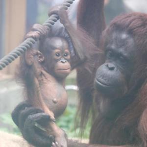 円山動物園 オランウータン親子 『令人は愛に包まれて成長中。』