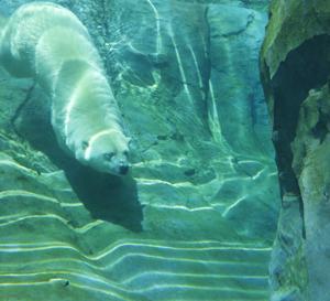 円山動物園 ホッキヨクグマのリラ 『静かに優雅に魅了。』
