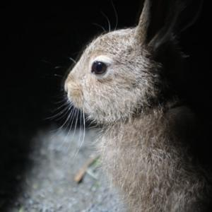 円山動物園 エゾユキウサギ&ペリカン&ミーアキャット 『元気です。』