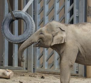 円山動物園 アジアゾウ 『タイヤ遊びは貴重な場面。』