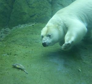 円山動物園 ホッキヨクグマのリラ 『魚と竹』