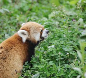 円山動物園 レッサーパンダ&コツメカワウソ&シロテテナガザル 『清く美しく。』
