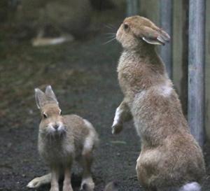 円山動物園 エゾユキウサギ達 『激しい動きとウサ☆パンチ!』