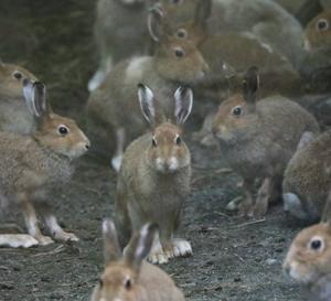 円山動物園 エゾユキウサギ達 『うさぎ・兎・ウサギ』