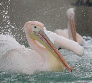 円山動物園 モモイロペリカン 『美しき水飛沫。』