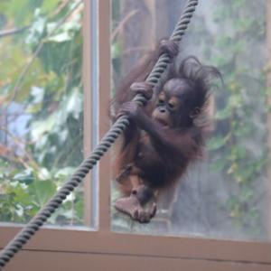円山動物園 オランウータンの令斗 『ターザンのように。』