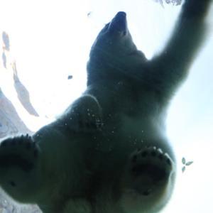 円山動物園 ホッキョクグマのリラと小枝 『来園者達へのおもてなしの心。』