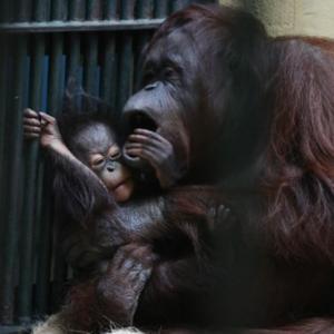 円山動物園 ボルネオオランウータンの令斗 『おやつともどかしさ。』