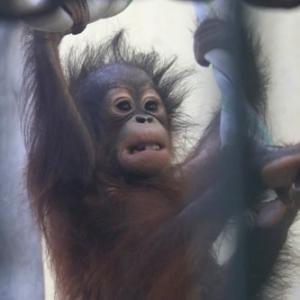 円山動物園 ボルネオオランウータンの令斗 『笑顔』