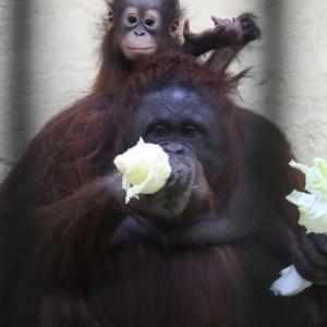 休園前の円山動物園 ボルネオオランウータン親子 『チラ見する令斗。』