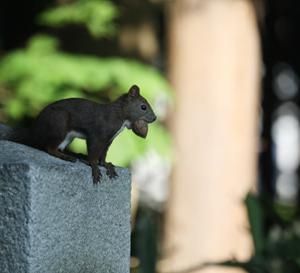 円山公園 エゾリス達 『胡桃を咥えたり、目が合う、尻尾だけが白いエゾリス』