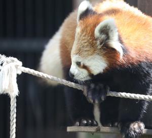 旭山動物園➂ レッサーパンダ 『吊橋を渡る。』