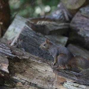 円山公園 エゾリス 『保護色になる木材。』