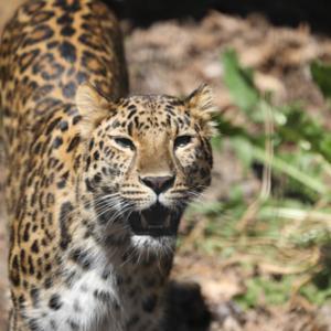 旭山動物園⑥ アムールヒョウ・エゾヒグマ・マヌルネコ・シロテテナガザル・オオカミ