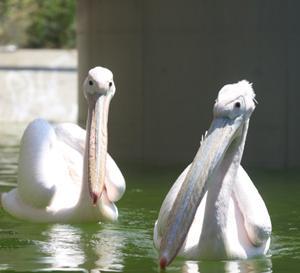 円山動物園 モモイロペリカン 『水浴び。』