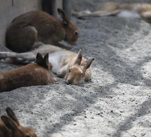 円山動物園 エゾユキウサギ&ポニー&コールダック&エゾタヌキ 『猛暑日が続く中で。』