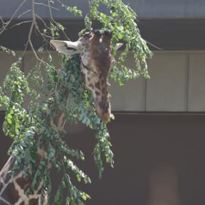 円山動物園 キリン&ミーアキャット&ペンギン&プレーリードッグ 『暑い!』
