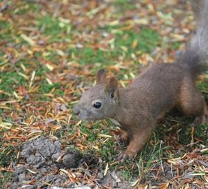 円山公園 茶色い夏毛のエゾリス 『松ぼっくりがあったとさ♪』