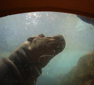 旭山動物園④ カバ・キリン・ヤギ・ブタ 『水の中・土の上』