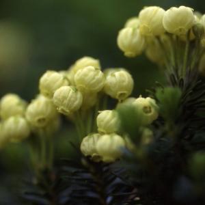 北海道で見られる高山植物