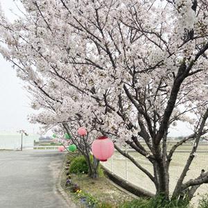 しょうか苑の桜も満開!