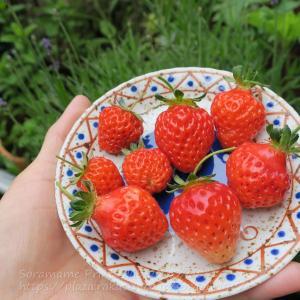 イチゴいちご苺