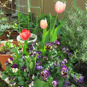 切り戻したビオラとパンジーが咲き始めました。