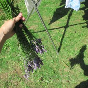 グロッソラベンダーを刈る