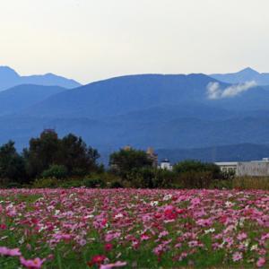 関川河川敷に咲くコスモス