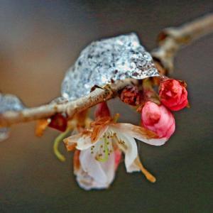 二月なのに十月桜