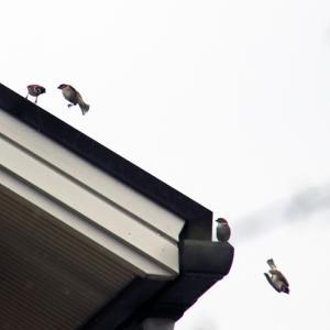 元気な雀たち