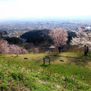 春日山城跡の桜