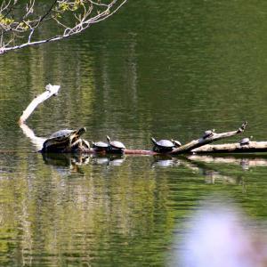 蓮池のカメとカモ