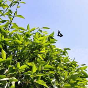 柚子に訪花のアオスジアゲハ